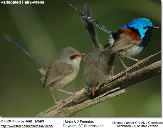 Fairy Wrens: 1 Male and 2 Females