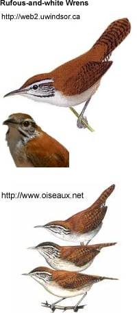 Rufous and White Wrens