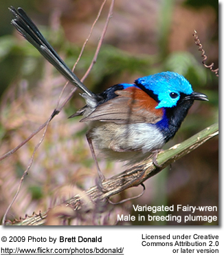 Variegated Fairy-wren - breeding male