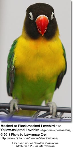 Masked or Black-masked Lovebird aka Yellow-collared Lovebird (Agapornis personatus)