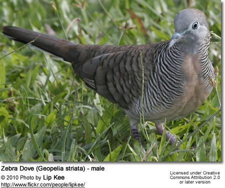 Zebra Dove (Geopelia striata) - male