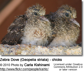 Zebra Dove (Geopelia striata) - chicks