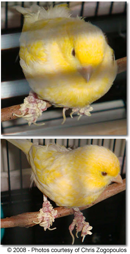 Canary with Scaly Leg (age-related)