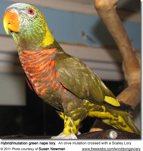 Hybrid/mutation green nape lory. An olive mutation crossed with a Scaley Lory
