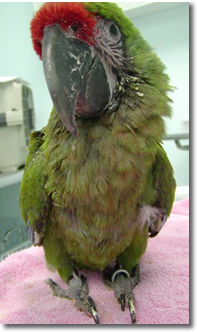 Macaw suffering from PDD
