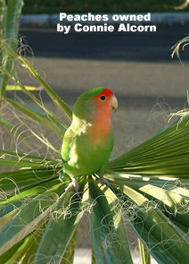 Lovebird Pet Photo Gallery Beauty Of Birds