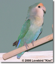 "Lovebird ""Kiwi"" looking good on his favorite perch"