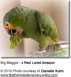 Red-Lored Amazon - Feeding