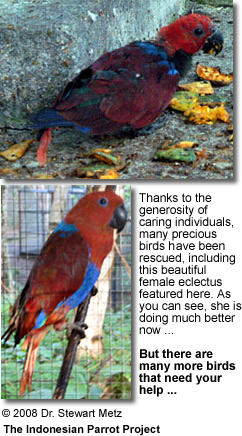 Rescued Eclectus