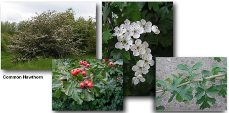 Hawthorn Tree, Leaves & Fruit