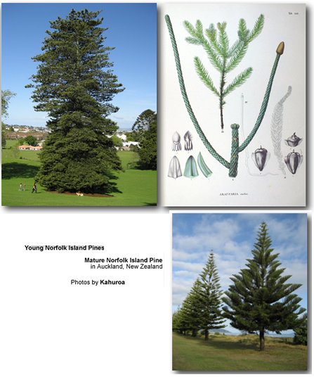 Norfolk Island Pine Tree