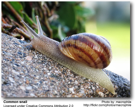 see a diagram of a snail