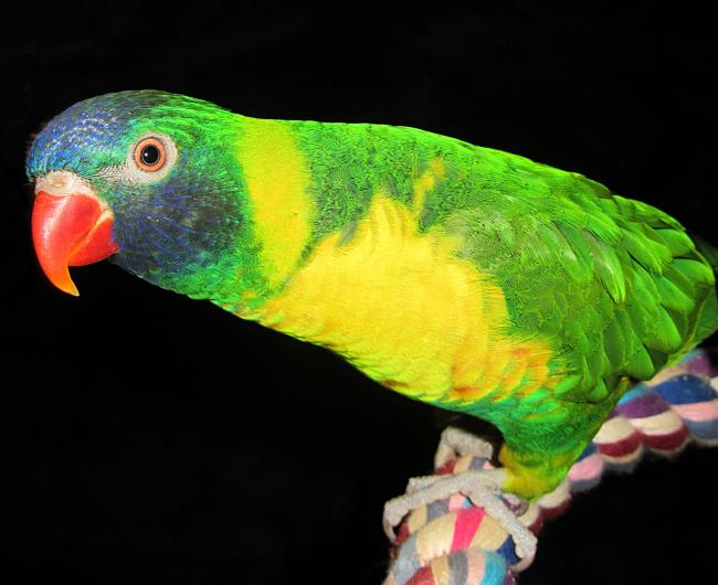 Lucy, Edwards Lorikeet
