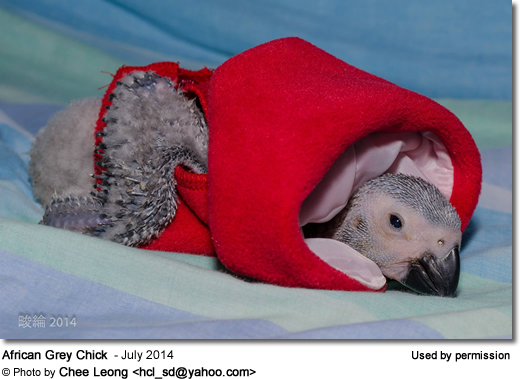 African Grey Chick