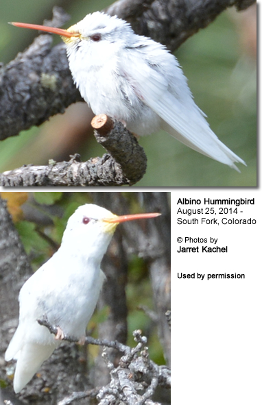 Albino Hummingbird sighted in Colorado