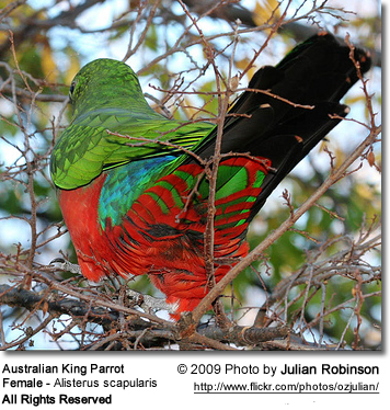 The underside of the Australian King Parrot hen - note the beautiful red and green barring