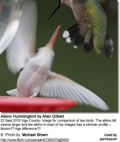 Albino Hummingbird in Flight