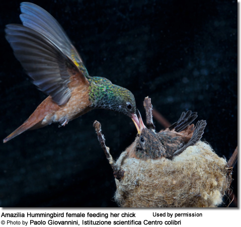 Amazilia Hummingbird with chick