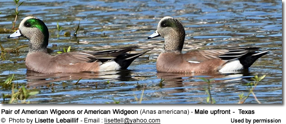 Pair of American Wigeons or American Widgeon (Anas americana) - Male upfront