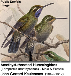 Amethyst-throated Hummingbirds (Lampornis amethystinus) - Male and Female