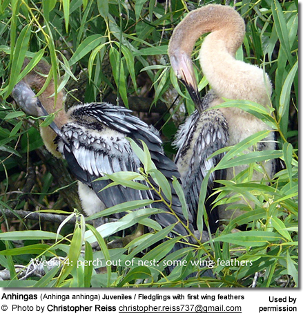 Anhingas (Anhinga anhinga) Juveniles / Fledglings with first wing feathers