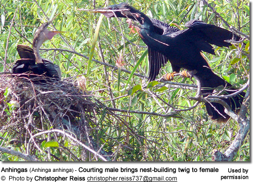 Anhingas (Anhinga anhinga) - Courting male brings nest-building twig to female