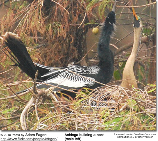 Anhinga building a nest (male left)