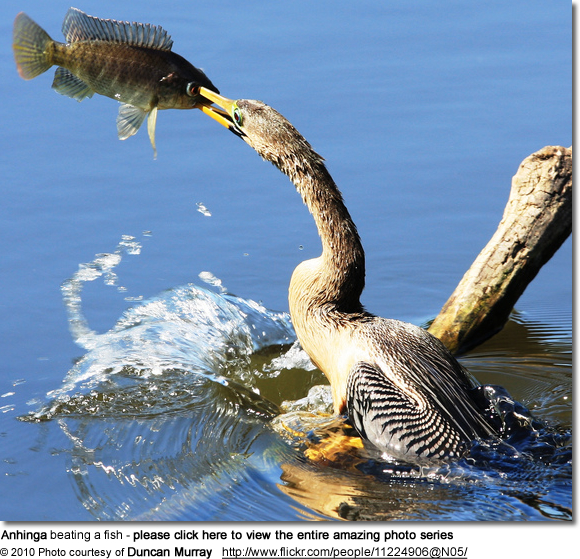 Anhinga Beating Fish