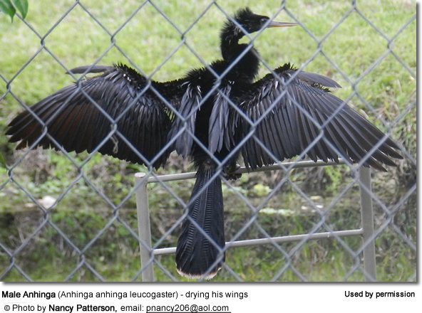 Male Anhinga (Anhinga anhinga leucogaster) - drying his wings