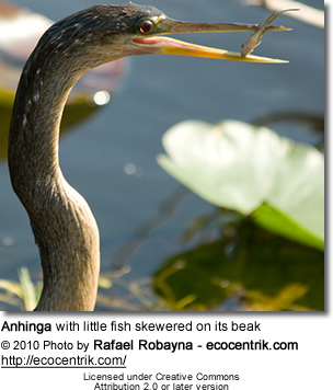 Anhinga with little fish skewered on its beak