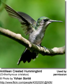 Antillan Crested Hummingbird