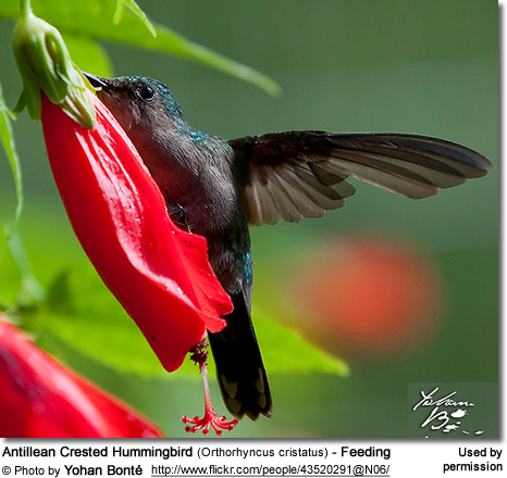 Antillean Crested Hummingbird (Orthorhyncus cristatus) - Feeding