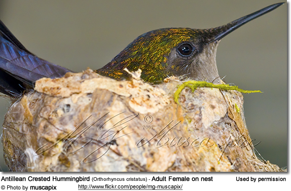 Antillean Crested Hummingbird (Orthorhyncus cristatus) - Adult Female on nest