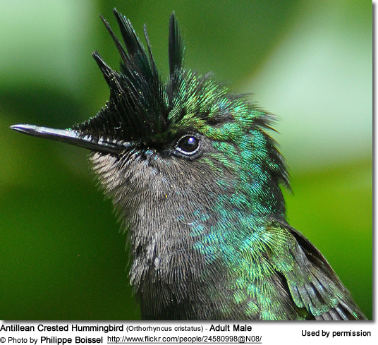 Antillean Crested Hummingbird (Orthorhyncus cristatus) - Adult Male