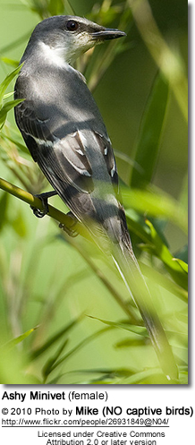 Female Ashy Minivet