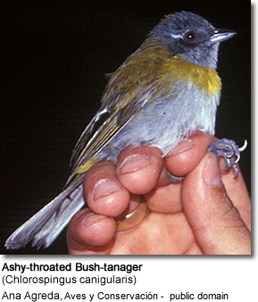 Ashy Throated Mountain Tanager