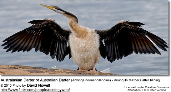 Australasian Darter or Australian Darter (Anhinga novaehollandiae) - drying its feathers after fishing