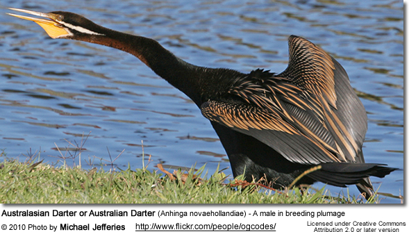 Australasian Darter or Australian Darter (Anhinga novaehollandiae) - A male in breeding plumage