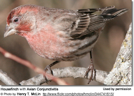 Housefinch with what appears to be a severe case of Avian Conjunctivitis at birdfeeder