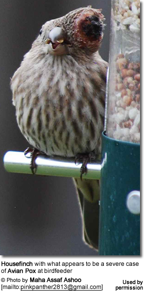 House Finch with Avian Pox