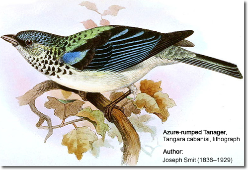 Azure-rumped Tanager,
