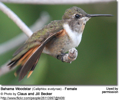 Bahama Woodstar (Calliphlox evelynae) - Female