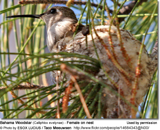 Bahama Woodstar (Calliphlox evelynae) - Female on nest