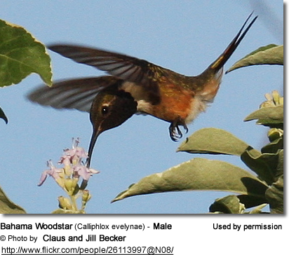 Bahama Woodstar (Calliphlox evelynae) - Male