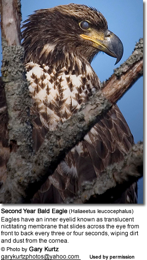 Second Year Bald Eagle (Haliaeetus leucocephalus) with its inner eyelid closed