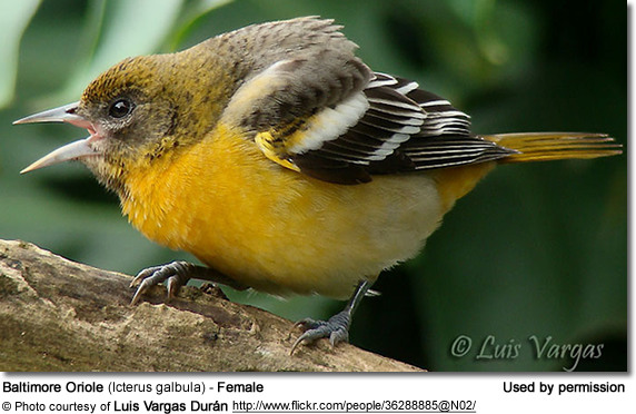 Baltimore Oriole (Icterus galbula) - Female