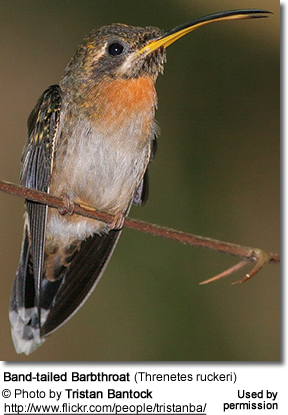 Band tailed Barbthroat