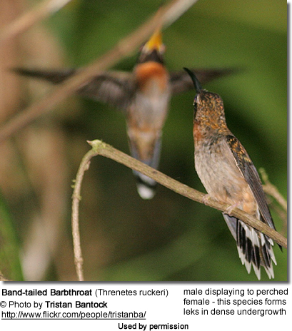 Band-tailed Barbthroat (Threnetes ruckeri) - male displaying to the female