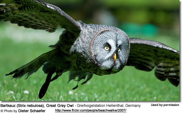 Bartkauz (Strix nebulosa), Great Grey Owl - Greifvogelstation Hellenthal, Germany