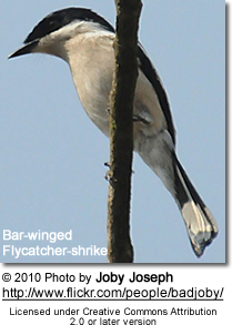 Bar-winged Flycatcher-shrike (Hemipus picatus)